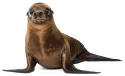 Young California Sea Lion 3 Months Old Sticker