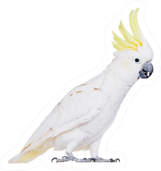 Sulphur-crested Cockatoo, Isolated On White Sticker