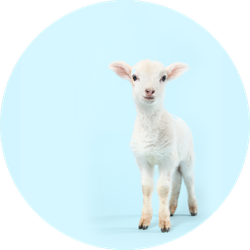A Baby Lamb On A Soft Baby Blue Background Sticker