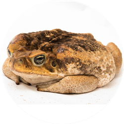 A Brown Cane Toad Sits And Thinks Sticker