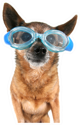 A Chihuahua Wearing Goggles Swim Sticker