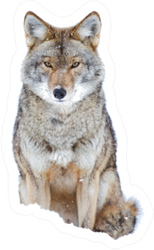 A Lone Coyote Sitting In The Winter Snow Sticker