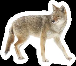 A Lone Coyote Walking Sticker