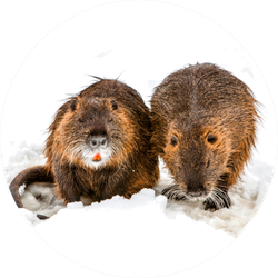 A Pair Of Beavers In Search For Food Closeup Sticker