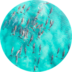 Aerial Close Up Of A Dolphin Pods Swimming Sticker