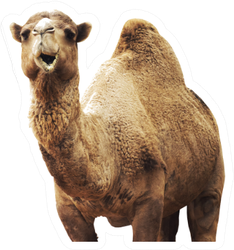 African Camel Isolated On White Background Sticker