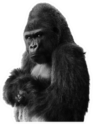 Angry Isolated Gorilla Sticker