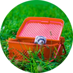 Animal Ferret In A Red Picnic Basket Sticker