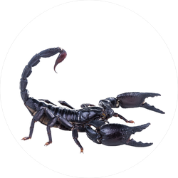 Approaching Emperor Scorpion Sticker