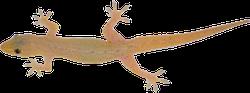 Asian House Gecko Lizard Sticker