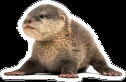 Baby Asian Small-clawed Otter Sprawled Sticker