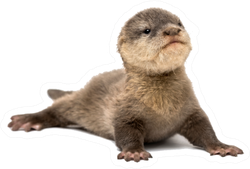 Baby Asian Small-clawed Otter Sticker
