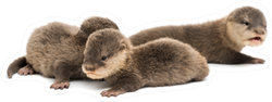 Baby Asian Small-clawed Otters Sticker