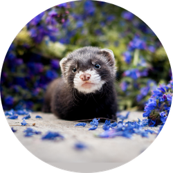 Baby Ferret In Purple Flowers Sticker