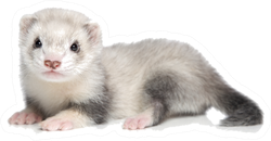 Baby Ferret Lying On A White Background Sticker