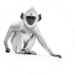 Baby Gray Monkey Sitting On A Stone Wall Sticker