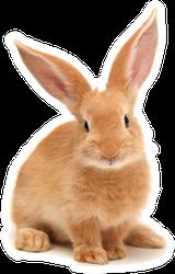 Baby Of Orange Rabbit On White Background Sticker
