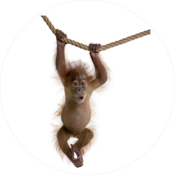 Baby Orangutan Hanging On Rope Sticker