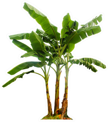 Banana Tree Isolated With Clipping Paths Sticker
