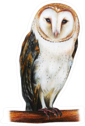 Barn Owl Drawing Sticker