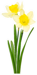 Beautiful Daffodils Isolated On White Sticker