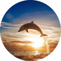Beautiful Dolphin Leaping Sunset Sticker