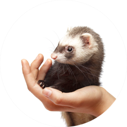 Beautiful Ferret On Hand Sticker