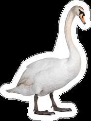 Beautiful Male White Swan Standing Sticker