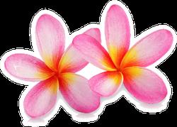 Beautiful Pink Tropical Plumeria Flowers Sticker