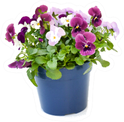 Beautiful Real Pansy Bouquet In Pot Sticker