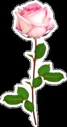 Beautiful Single Pink Rose Watercolor Sticker