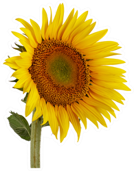 Beautiful Sunflower Photo Sticker