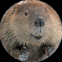 Beaver Close Up Sticker