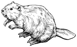 Beaver - Hand Drawn Illustration Sticker
