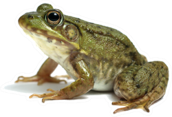 Big Frog Toad On White Sticker