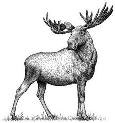 Black And White Engraved Moose Sticker