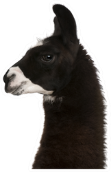 Black Fuzzy Llama On White Sticker