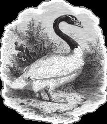 Black-necked Swan Sketch From 1888 Sticker