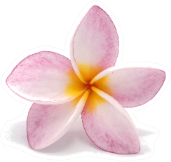 Blooming Phumalia Or Plumeria Flower Sticker