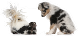 Blue Merle Australian Shepherd Puppy Looking At Striped Skunk Sticker