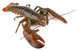 Boston Lobster Isolated On White Sticker