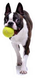 Boston Terrier Playing With A Tennis Ball Sticker