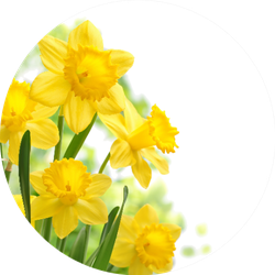 Bouquet Of Daffodil Flowers In Circle Sticker