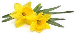 Bouquet Of Two Yellow Daffodils Top View Sticker