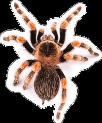 Brachypelma Smithi Spider Sticker