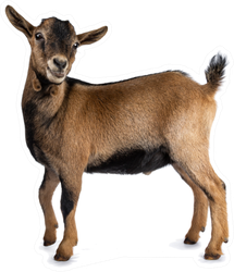 Brown Agouti Pygmy Goat Standing Side Ways Sticker