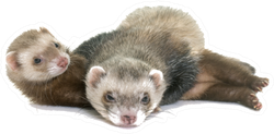 Brown Ferrets Laying On Each Other Sticker