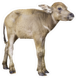 Calf Of Buffalo Sticker