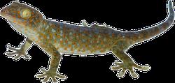 Calling Gecko Lizard Sticker