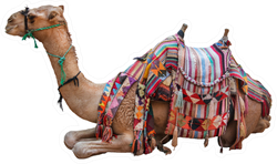 Camel, Decorated With Saddle Sticker